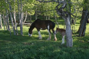 Gwyneth and new filly enjoy their first day together on pasture